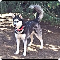 Adopt A Pet :: Mack- Adoption pending! - Monument, CO