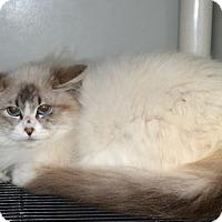 Adopt A Pet :: Desiree - Pinckney, MI