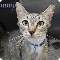 Domestic Shorthair Cat for adoption in Bradenton, Florida - Sunny