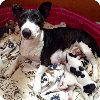 Bull Terrier/Corgi Mix Dog for adoption in Santa Ana, California - Dutchess (BH)