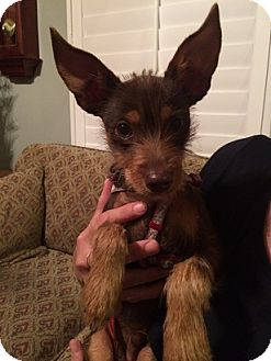 Miniature Pinscher/Terrier (Unknown Type, Medium) Mix Puppy for adoption in Alhambra, California - Reggie