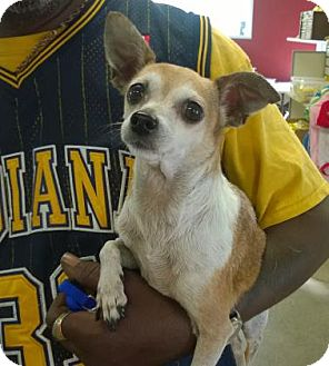 Chihuahua Mix Dog for adoption in Terre Haute, Indiana - MISSY