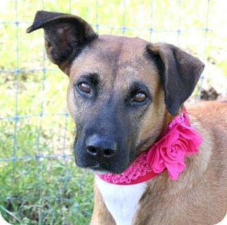 Belgian Malinois Mix Dog for adoption in Loxahatchee, Florida - Jay Bird