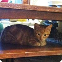 Domestic Shorthair Kitten for adoption in Trenton, New Jersey - Spy