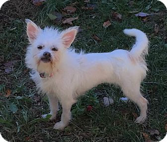 Yorkie, Yorkshire Terrier/Westie, West Highland White Terrier Mix Dog for adoption in Palmyra, New Jersey - Chloe