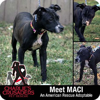 Terrier (Unknown Type, Small)/Boston Terrier Mix Puppy for adoption in Spring City, Pennsylvania - Maci