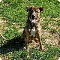 Adopt A Pet :: GracieLou - Acushnet, MA