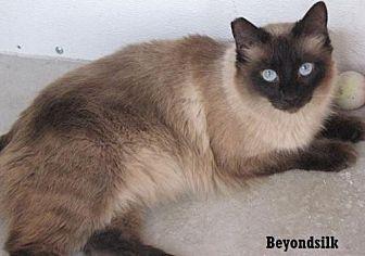 Siamese Cat for adoption in Fullerton, California - Beyond Silk