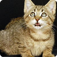 Domestic Shorthair Kitten for adoption in Newland, North Carolina - Bixby
