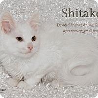 Adopt A Pet :: Shitake - Ortonville, MI