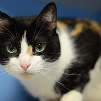 Adopt A Pet :: Glorious	161238 - Atlanta, GA