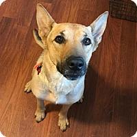 Adopt A Pet :: Rose - Gorgeous German Shepherd Mix - Seattle, WA