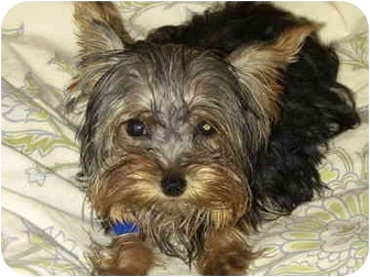 Yorkie, Yorkshire Terrier Puppy for adoption in West Palm Beach, Florida - Olivia