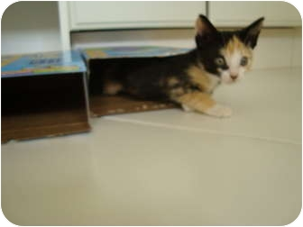 Domestic Shorthair Kitten for adoption in Coral Springs, Florida - Ginger