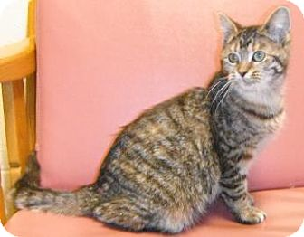 Domestic Shorthair Cat for adoption in Jackson, Michigan - Holly