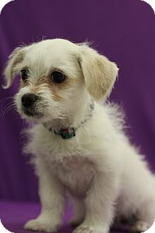 Chihuahua/Terrier (Unknown Type, Small) Mix Puppy for adoption in Broomfield, Colorado - Angel