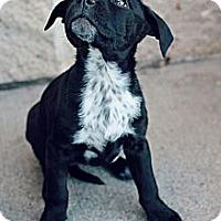 Adopt A Pet :: Zoey - Justin, TX