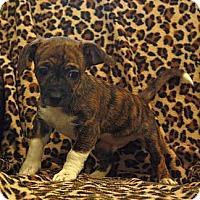 Adopt A Pet :: Marble - Brattleboro, VT