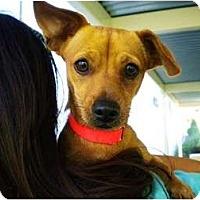 Adopt A Pet :: Goldie - Mission Viejo, CA