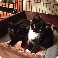 Adopt A Pet :: Onyx - Portland, ME
