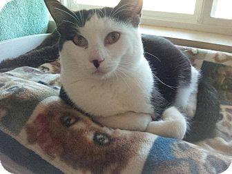 Domestic Shorthair Cat for adoption in Lincoln, Nebraska - TIGGER