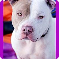 Adopt A Pet :: Bear - Long Beach, NY