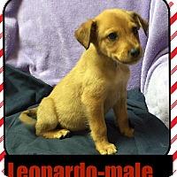 Adopt A Pet :: Leonardo (Pom) - Harrisonburg, VA