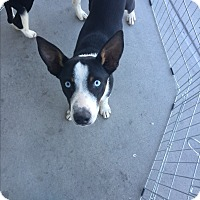 Border Collie Mix Dog for adoption in San Angelo, Texas - Chance