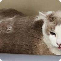 Siamese Cat for adoption in Tucson, Arizona - Snowflake