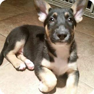 Bull Terrier/German Shepherd Dog Mix Dog for adoption in Houston, Texas - Theia