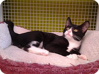 Domestic Shorthair Kitten for adoption in Richmond, Virginia - Henrietta