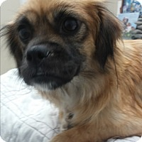 Pekingese Mix Dog for adoption in Grants Pass, Oregon - Kizzy