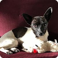Adopt A Pet :: Tiana - Denver, CO