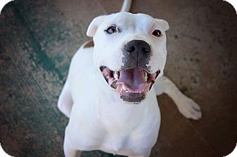 American Bulldog/American Pit Bull Terrier Mix Dog for adoption in Glastonbury, Connecticut - Tilly
