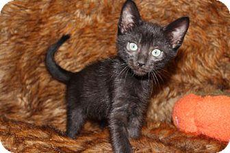 Bombay Cat for adoption in Las Vegas, Nevada - Thanksgiving: Black Friday