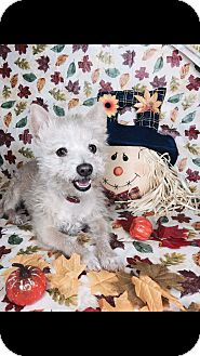 Cairn Terrier/Maltese Mix Dog for adoption in LAKEWOOD, California - Coconut