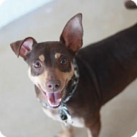Miniature Pinscher/Chihuahua Mix Dog for adoption in Kyle, Texas - SANDY