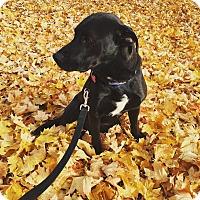 Adopt A Pet :: Ralphie - Springfield, MO