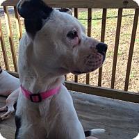 Adopt A Pet :: Pearle - Suwanee, GA
