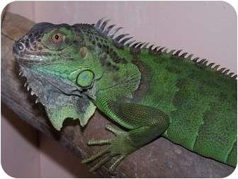 Iguana for adoption in Quilcene, Washington - Mr. Maya