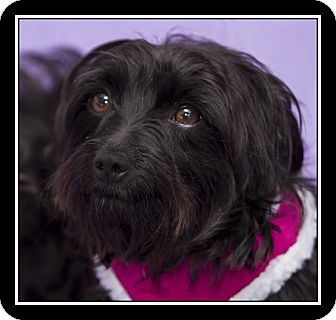 Scottie, Scottish Terrier/Maltese Mix Dog for adoption in Ft. Bragg, California - Terra