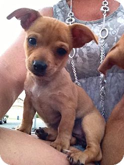 Chihuahua/Dachshund Mix Puppy for adoption in Torrance, California - WILLOW