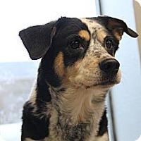Adopt A Pet :: Cookie - Pflugerville, TX