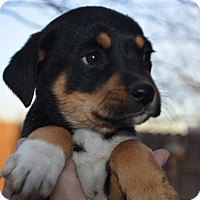 Adopt A Pet :: Russell - Westminster, CO