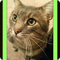Domestic Shorthair Cat for adoption in Fenton, Missouri - Finn