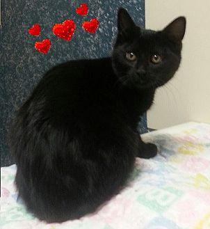 Domestic Shorthair Cat for adoption in Lacona, New York - Catniss