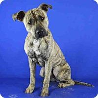 Adopt A Pet :: A021998 - Norman, OK