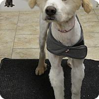 Adopt A Pet :: Dozer - Pacific, MO
