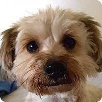 Adopt A Pet :: YOSHI - Westmont, IL