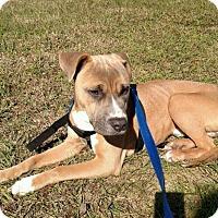 Adopt A Pet :: Gus - Orlando, FL